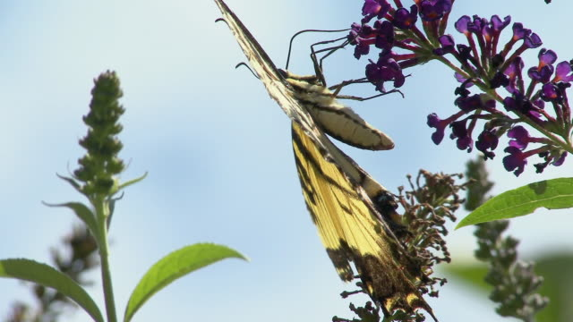 CU LA Tiger Swallowtail Butterfly (Papilio glaucus) collecting nectar from Delphinium flower, North Plainfield, New Jersey, USA