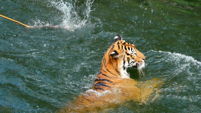 tiger swimming - tiger stock videos & royalty-free footage