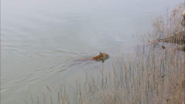 tiger swims in lake, pench, india. - tiger stock videos & royalty-free footage