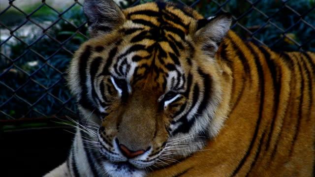 tiger ,タイ - 歯をむく点の映像素材/bロール