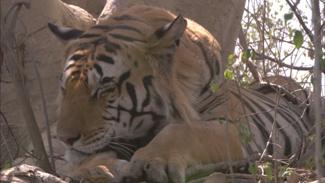 a tiger twitches its ears at buzzing flies as it rests. - ear stock videos & royalty-free footage