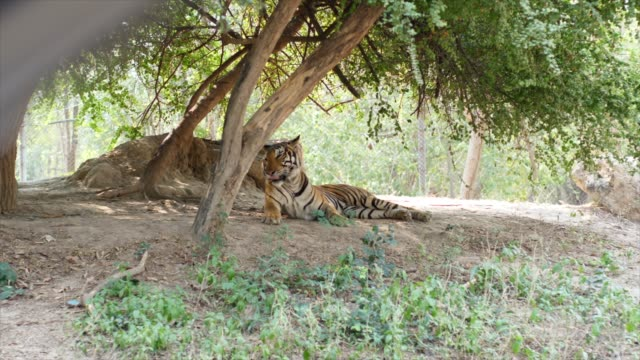 tiger under trees - threats stock videos & royalty-free footage