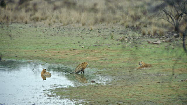 tiger urinating in water edge near by two tigers watching - small group of animals stock videos & royalty-free footage