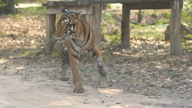 tiger - captive animals stock-videos und b-roll-filmmaterial