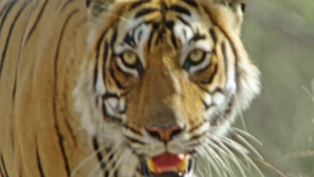 tiger - endangered species stock videos & royalty-free footage
