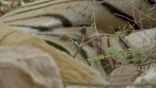 stockvideo's en b-roll-footage met tiger - vachtpatroon