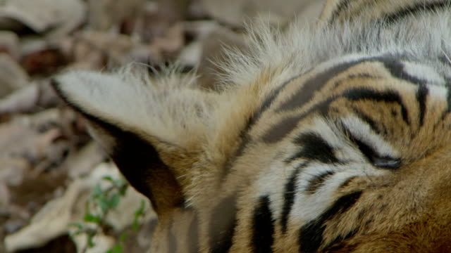 tiger - animal colour stock videos & royalty-free footage