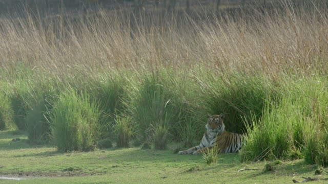 tiger - wildlife tracking tag stock videos and b-roll footage