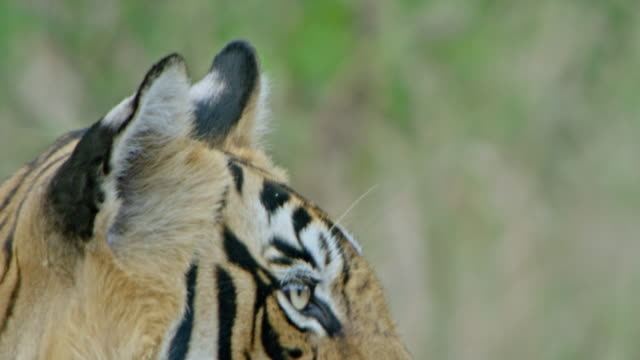 tiger - young animal stock videos & royalty-free footage