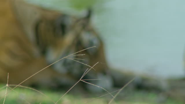 vídeos de stock, filmes e b-roll de tiger - fotografia de alta velocidade