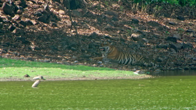 tiger - lakeshore stock videos & royalty-free footage