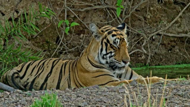 tiger - mammal stock videos & royalty-free footage