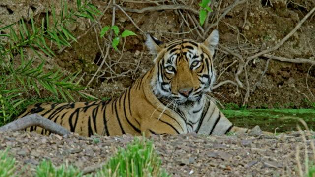 tiger - inhaling stock videos & royalty-free footage
