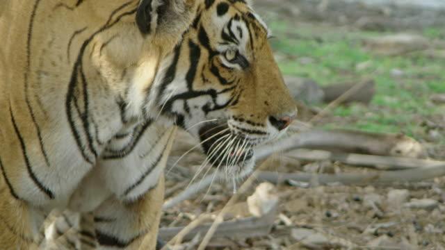 vídeos y material grabado en eventos de stock de tiger - vibrisas