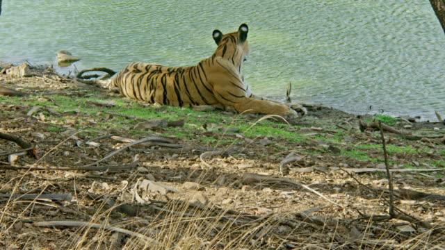 vídeos y material grabado en eventos de stock de tiger - comportamiento de animal