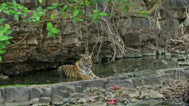 vídeos de stock e filmes b-roll de tiger - gema semipreciosa