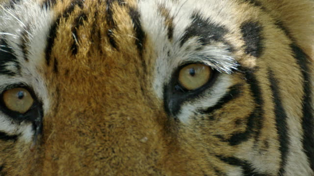 tiger - cat family stock videos & royalty-free footage