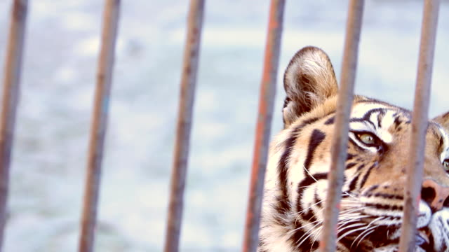tiger (hd) - trapped stock videos & royalty-free footage