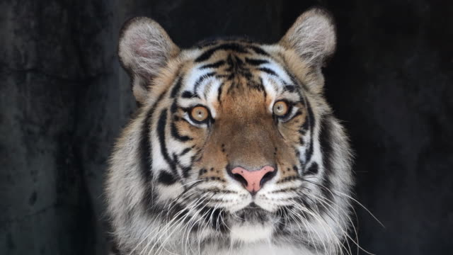 tiger - animal eye stock videos and b-roll footage