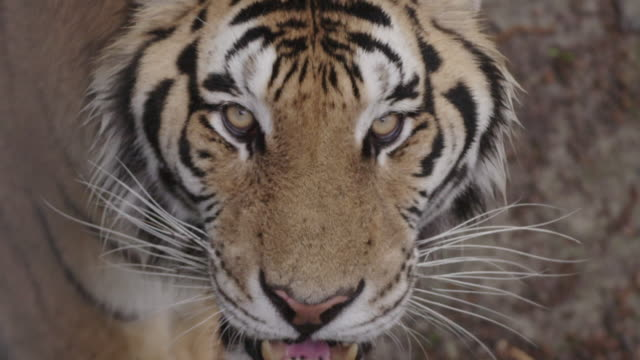 stockvideo's en b-roll-footage met cu of tiger - ernstig bedreigde soorten
