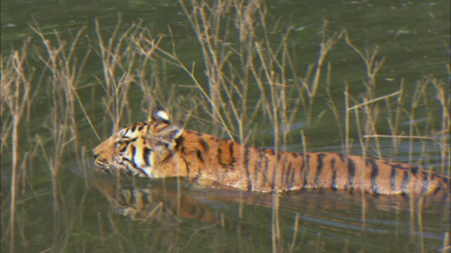 a tiger wades through a swamp. - sumpf stock-videos und b-roll-filmmaterial