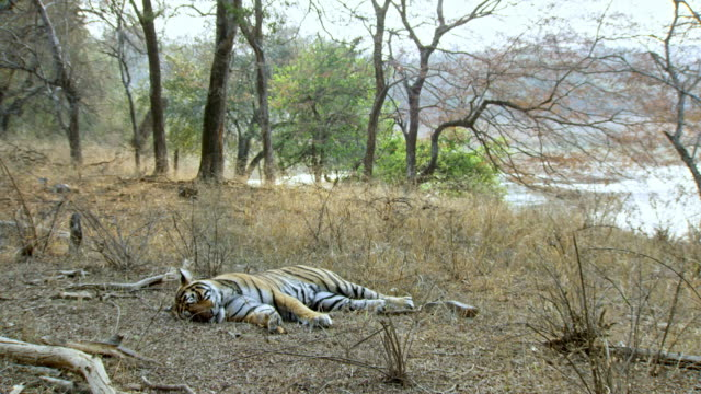 tiger wake up - arid stock videos & royalty-free footage