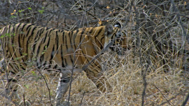 tiger walking at dry thorn forest - thorn stock videos & royalty-free footage