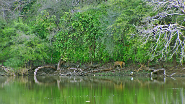 vídeos de stock e filmes b-roll de tiger walking near the lakeshore and its sibling in bushes - reflection