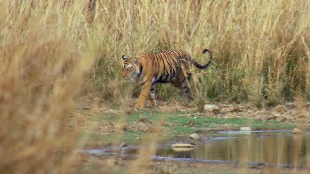 vídeos de stock e filmes b-roll de tiger walking near the water edge, background dry grass bushes - water's edge