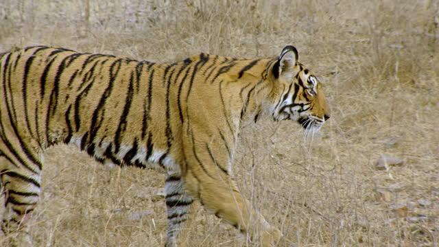 tiger walking through dry grass field - thorn stock videos & royalty-free footage