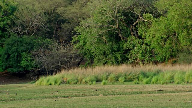 stockvideo's en b-roll-footage met tiger walking through tall grassland in tropical forest - verbergen