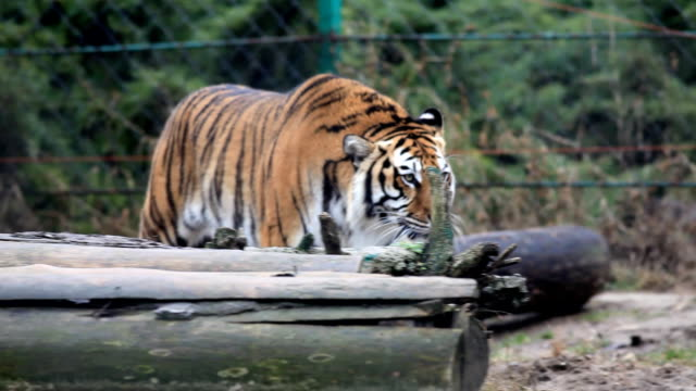 stockvideo's en b-roll-footage met tiger walking. - dierentuin