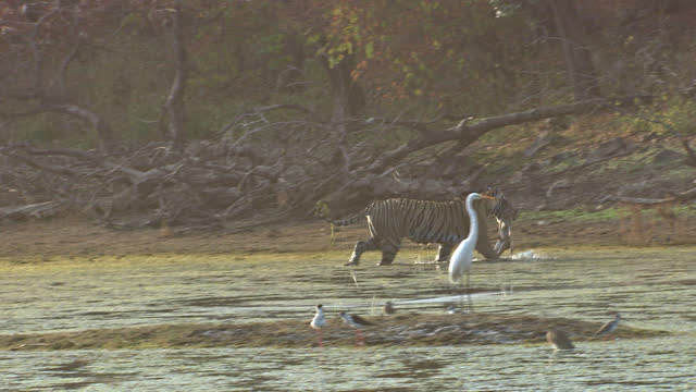 tiger walking with kill in wetland, foreground birds foraging food  - wide shot - egret stock videos & royalty-free footage