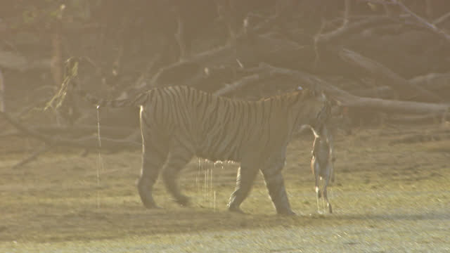 tiger walking with kill in wetland - wide shot - egret stock videos & royalty-free footage