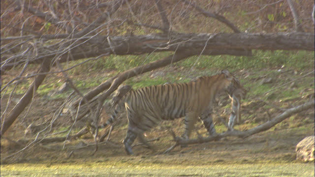 tiger walking with kill, moving into under the tree trunk - wide shot - egret stock videos & royalty-free footage