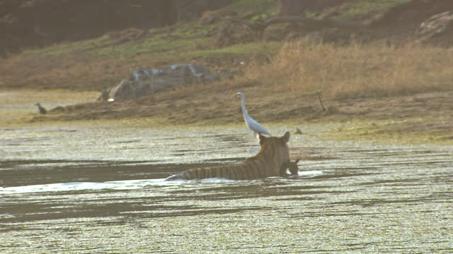 tiger walking with kill on water field - wide shot - egret stock videos & royalty-free footage