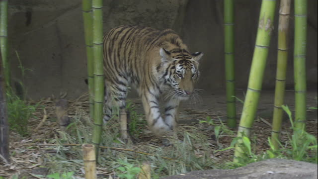 A tiger wanders through bamboo stalks at the Riverbanks Zoo and Garden in Columbia, South Carolina.