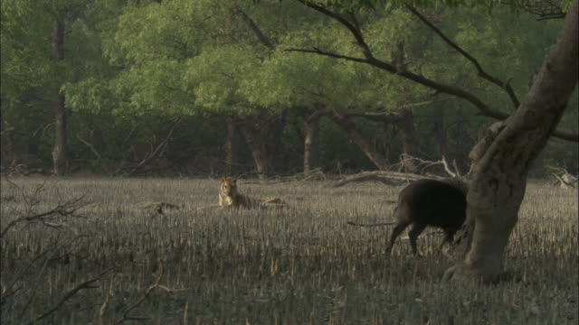 A tiger watches a foraging boar. Available in HD.