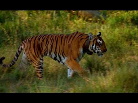 tiger (panthera tigris) wearing radio collar, nagarahole, southern india - wildlife tracking tag stock videos and b-roll footage
