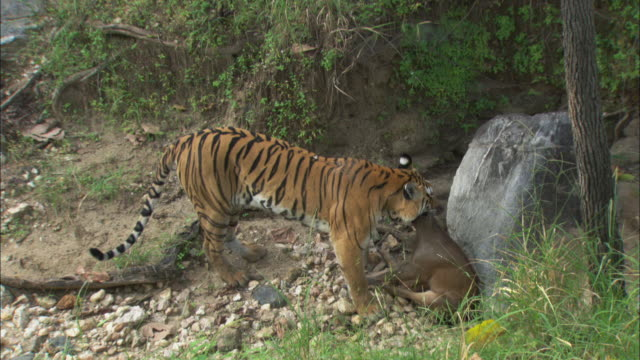 a tiger with a dead muntjac deer in pench national park, india. - hunting stock videos & royalty-free footage