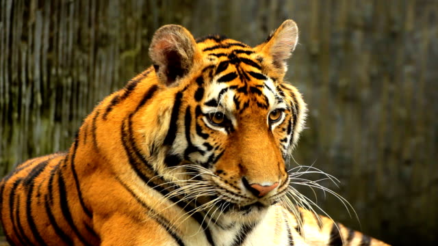 stockvideo's en b-roll-footage met tiger yawning - dierentuin