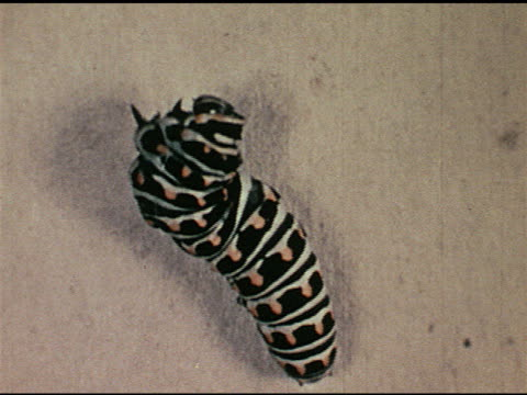 stockvideo's en b-roll-footage met / cu of tigercolored caterpillar attaching itself to plant - ongewerveld dier