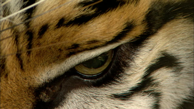 a tiger's eye dilates, then blinks. - animal eye stock videos & royalty-free footage