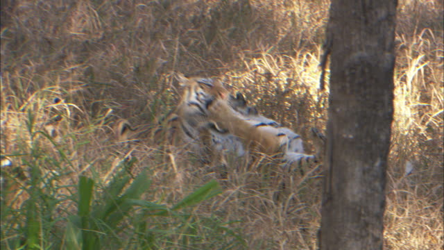 tigers fight in grass. - claw stock videos and b-roll footage