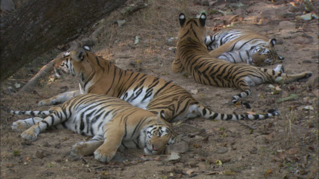 tigers lounge in a dry riverbed. - group of animals stock videos & royalty-free footage
