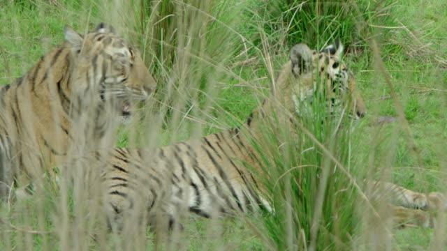 stockvideo's en b-roll-footage met tigers resting at grassland - dierlijk gedrag