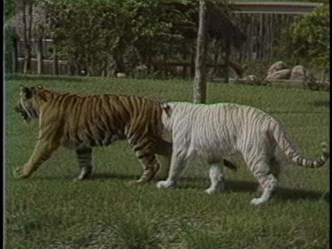 tigers run around in a zoo habitat. - running stock videos & royalty-free footage