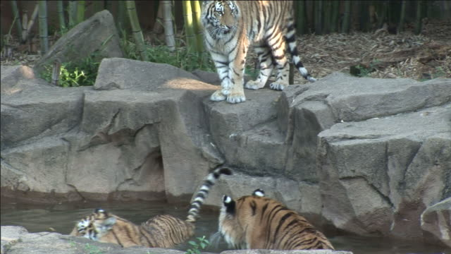 tigers stand on rocks and wade in a pool. - zoo stock videos & royalty-free footage