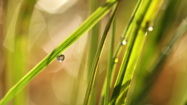 tight detail of a dew drop on a blade of grass - blade of grass点の映像素材/bロール
