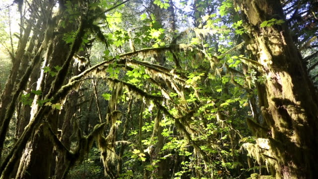 tight pan shot of moss covered alder trees in dark forest with sunlight illuminating branches. - alder tree stock videos & royalty-free footage